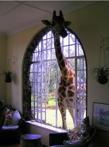 giraffe_in_the_house