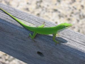 lime_lizard